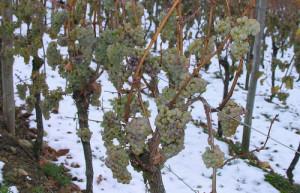 влияние погодных условий на виноград