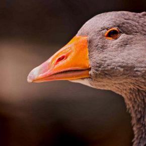 История одомашнивания гуся