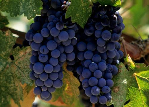 как выбрать сорт винограда