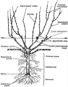 схема строения виноградного куста