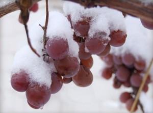 воздействие окружающей среды на виноград