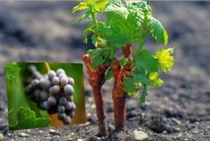 развитие винограда