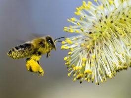 пыльца для пчел