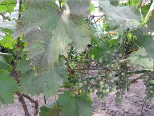 грибковое заболевания винограда