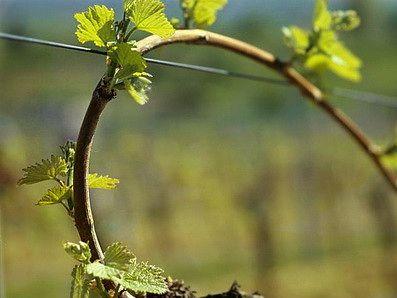 Подпоры виноградных кустов