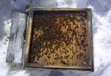 пчелы плохо перезимовали