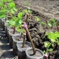 спосбы размножения винограда
