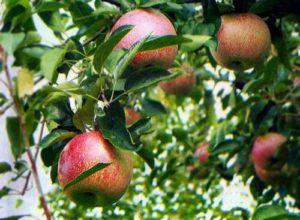 Описание сорта яблони Буян