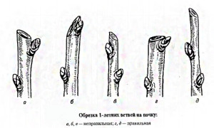 обрезка-однолетних-ветвей-на-почку