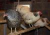 помещение для кур