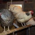 Основные требования к помещению для разведения кур