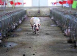 влияние ВТО на свиноводство