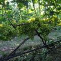 Обрезка винограда разного возраста при веерной формировке куста