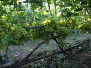 веерная-формировка-винограда
