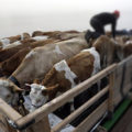импортный скот