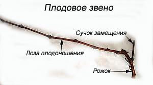 плодовое-звено-при-косом-кордоне