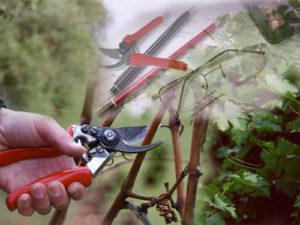 расчет-нагрузки-куста-винограда