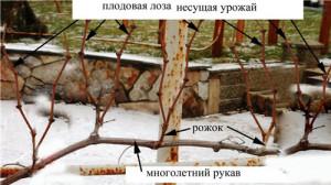 сформированный-виноград-косым-кардоном