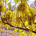 Обрезка винограда разного возраста при формировке куста косым кордоном