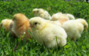 профелактика-заболеваний-цыплят
