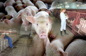 профилактика-ифекционных-болезней-свиней