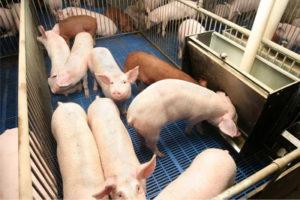 содержание молоднека свиней