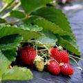 Как правильно посадить и ухаживать за земляникой садовой?