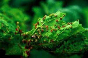 Филлоксера или виноградная тля — опасный вредитель винограда