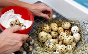 перепелиные-яйца-для-инкубации