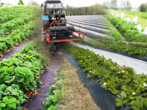 Основы технологии промышленного производства земляники садовой