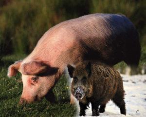 Породы свиней. От истоков до современности