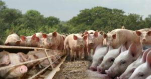 структура-стада-свиней