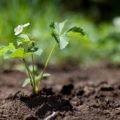 Как правильно выращивать землянику садовую?