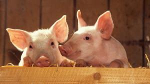 Экстерьер, типы телосложения  и конституция свиней