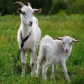 История одомашнивания коз