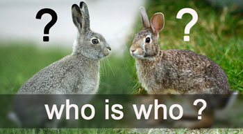 отличия кролика от зайца