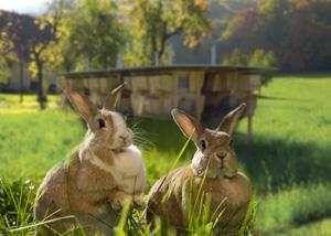 разведение мясных кроликов