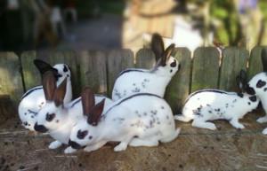 кролики парод-бабочка