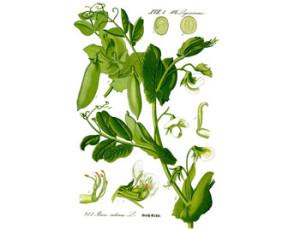 ботанические-свойства-гороха