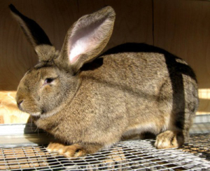 Основные принципы обращения с сукрольной крольчихой