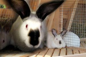 Как получать крольчат в течение всего года. Случка  кроликов