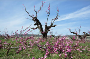 обрезанные-деревья-персиков