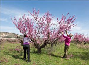 обрезка-перссиков-во-время-цветения