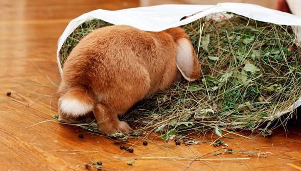 декоротивный кролик дома