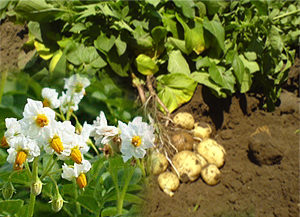 защита-картофеля