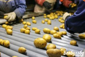 Как определиться с выбором сорта картофеля