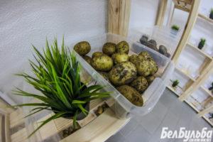 Секреты выращивания картофеля из семян