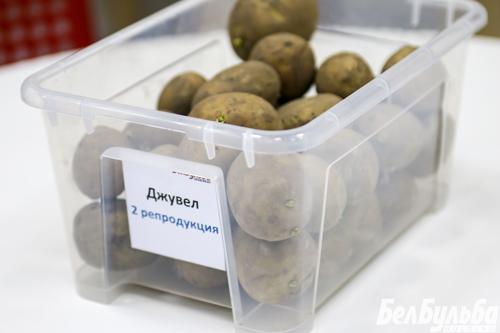 сорт-картофеля-джувел
