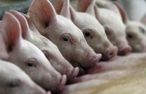 развидение-свиней-дома