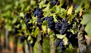 Опасные-болезни-винограда---проблемы-отечественного-виноградника